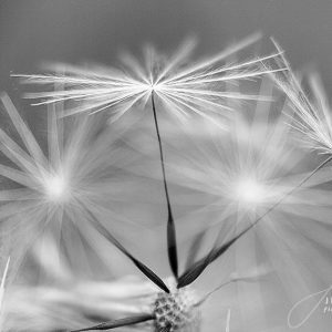 Dandelion Closeup B&W