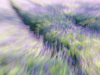 Fine Art Photography & Decor Cape Town Lavender Fields
